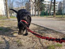 Kwarantanna domowa a zwierzęta domowe. Czy możemy wyprowadzić psa na spacer?