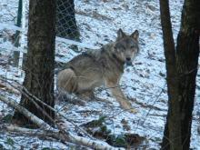 """Prokuratura umarza śledztwo w sprawie śmierci wilka """"Miko"""". Będzie zażalenie"""