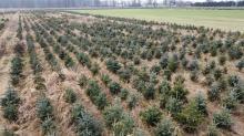 Nadleśnictwo Opole organizuje rodzinne wybieranie choinki bożonarodzeniowej