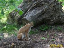 Ryś wrócił do Stobrawskiego Parku Krajobrazowego. Zaobserwowali go biolodzy z UO