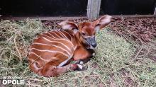 Mała antylopa przyszła na świat w opolskim zoo. To pierwsze takie narodziny w Opolu
