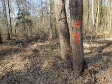To nie informacja o wycince. Co oznaczają liczby i opaski na leśnych drzewach?