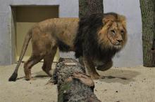 Opolskie zoo ponownie ma króla zwierząt. Dwa lwy są już w ogrodzie