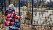 Uroczyście otwarto wybieg dla lwów i tygrysów w opolskim zoo!