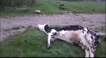 Gmina Rudniki. Rolnik uderza krowę, zwierzę kona i nikt nie reaguje