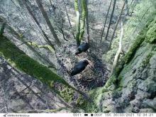 Opolscy leśnicy podglądają niezwykle rzadkie czarne bociany. Złożyły już jaja
