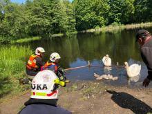 Strażacy pomagali zaplątanemu łabędziowi