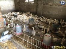 Ptasia grypa w gminie Biała. Zutylizowano 79 sztuk drobiu
