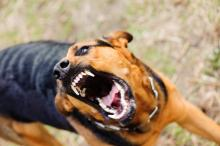 Psycholog psów wyjaśnia, jak bronić się przed atakiem agresywnego czworonoga