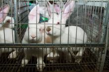 Komisja Europejska wprowadzi zakaz stosowania klatek w hodowli zwierząt w UE