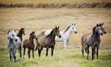 Za jego kadencji padły cenne konie. Wraca do państwowej stadniny