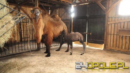 W opolskim zoo urodził się wielbłąd. Wybierz mu imię!