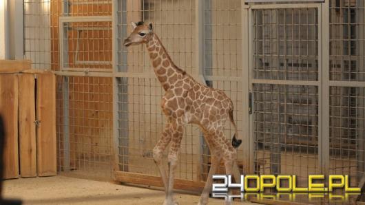 Ósma żyrafa urodziła się w opolskim zoo