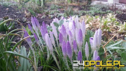 Do Opola zawitała już wiosna