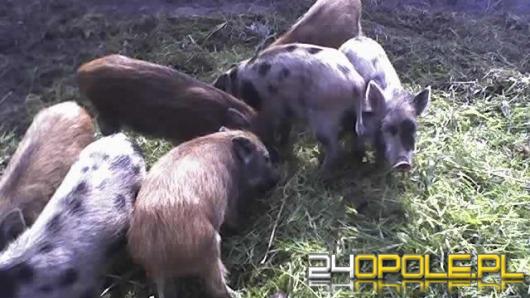 Ponad sto dzików do odłowu lub odstrzału w Szumiradzie i Kędzierzynie - Koźlu