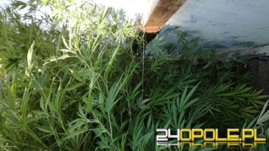 Opolscy policjanci znaleźli dużą plantację marihuany w Niemodlinie