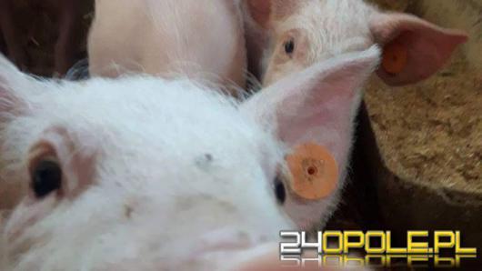Nowe surowe rozporządzenie dla hodowców świń. Od marca ruszą masowe kontrole