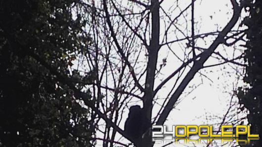 Małpa uciekła z wybiegu w opolskim zoo, lecz nie długo cieszyła się wolnością