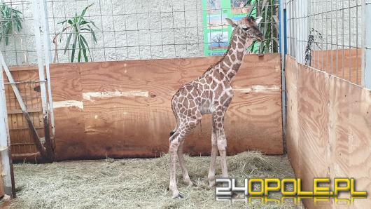 W opolskim zoo przyszła na świat kolejna żyrafa