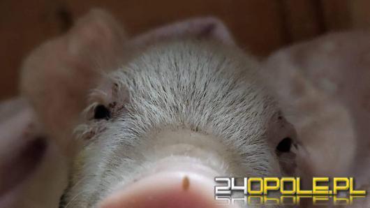"""Świnka została """"skazana"""" przez gospodarza na powolną śmierć. Interwencja TOZ"""