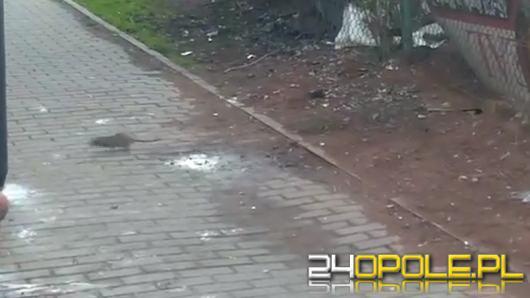 Mieszkańcy alarmują: Mnóstwo szczurów w centrum miasta!