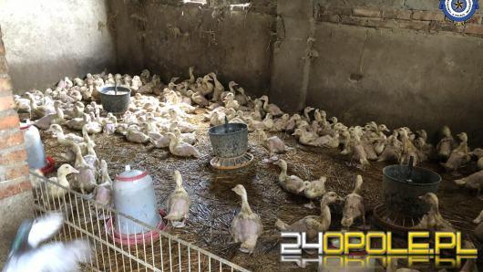 Wirus ptasiej grypy na  jednej z ferm drobiu w Lenartowicach