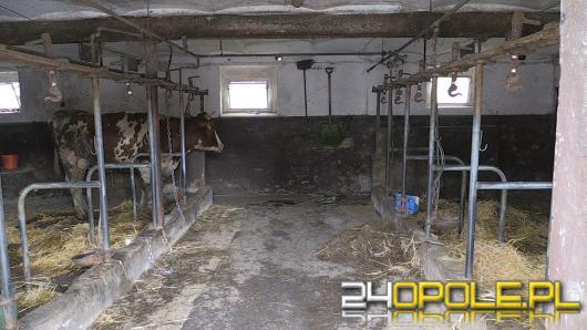16 krów padło rażonych prądem podczas wichury. Ruszyła zbiórka pieniędzy na odbudowę inwentarza