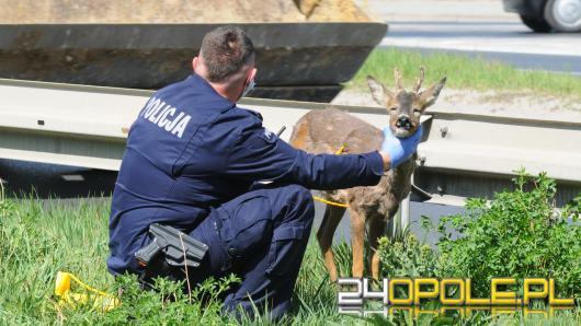 Młody jelonek błąkał się po ulicy w Opolu. Na pomoc ruszyli policjanci i strażnicy miejscy