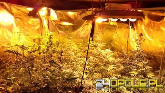 Policja zlikwidowała plantacje marihuany w domu 50-latka