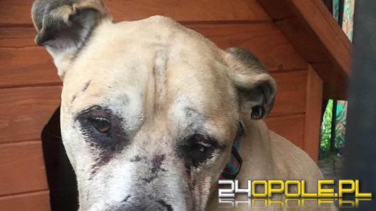 Odebrano psa w typie amstafa. Właściciel zafundował mu prawdziwe piekło!