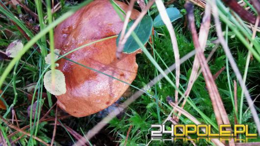 Ciepły listopad jest idealny na grzybobranie. Opolskie lasy pełne grzybów