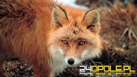 Gdyby nie przypadkowe spotkanie, lis prawdopodobnie skonałby owinięty w ogrodzenie