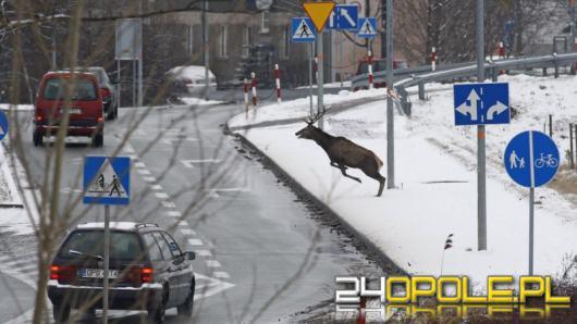 Uważaj na dzikie zwierzęta na drodze
