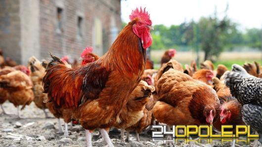 Hodowca i dwie pracownice Poczty Polskiej na ławie oskarżonych. Ofiary to 30 kurczaków