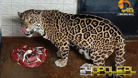 W opolskim zoo obchodzono urodziny samicy jaguara. Bora skończyła 21 lat