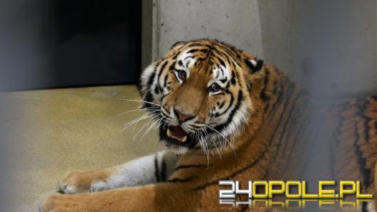 Pierwszy tygrys już w opolskim zoo