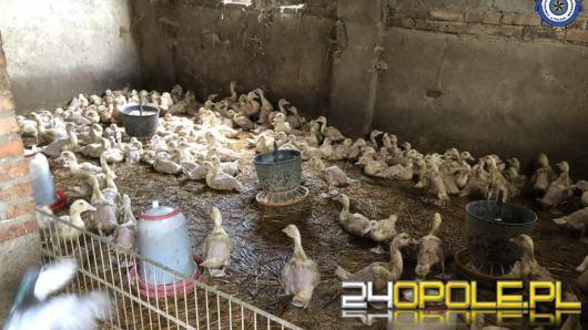 Ognisko ptasiej grypy w powiecie głubczyckim. Padło 79 sztuk drobiu