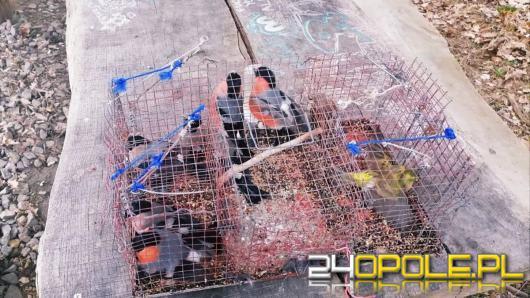 Wnyki, potrzaski i klatki z ptakami pod ochroną - podejrzany o kłusownictwo w rękach policjantów