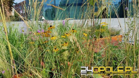W Opolu po raz kolejny pojawiają się mobilne łąki kwietne