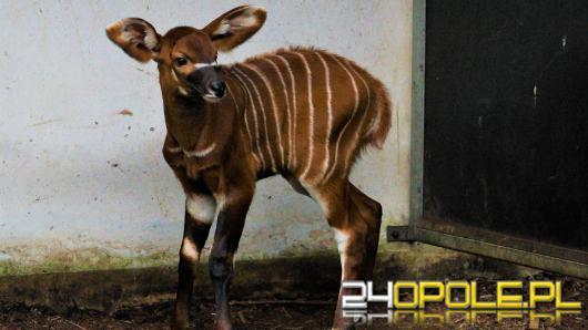 Kolejna antylopa bongo urodzona w Opolu! To ogromny sukces hodowlany zoo