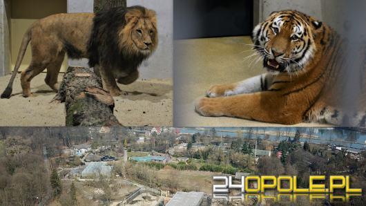 Dwa lwy przed ratuszem. Miasto rozpoczyna kampanię zachęcającą do odwiedzin zoo