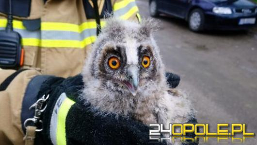 Młoda sowa wypadła z gniazda. Na pomoc ruszyli strażacy
