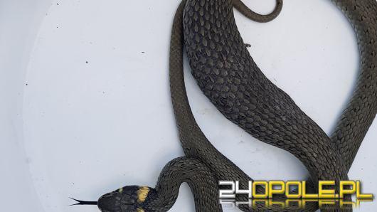 W ciepłe dni częściej możemy spotkać na drodze węża. Jak je rozróżnić?