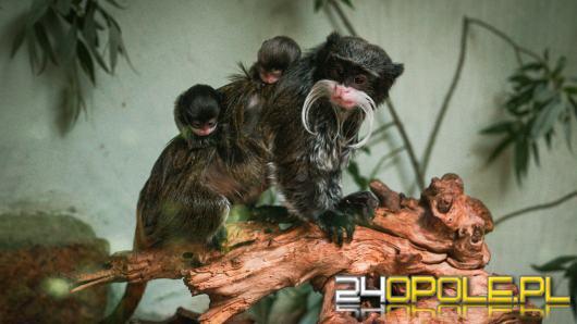 Kolejne narodziny w opolskim zoo! Na świat przyszły bliźnięta tamaryny cesarskiej