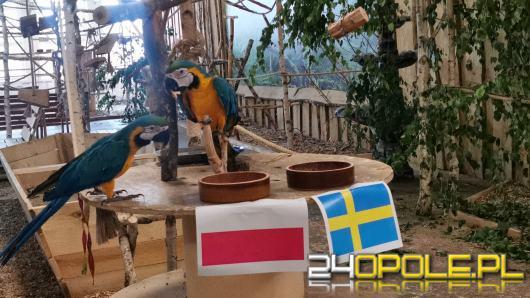 Mecz Polska-Szwecja. Ostatnie typowanie było skuteczne. Jak dziś typowały kolorowe papugi?