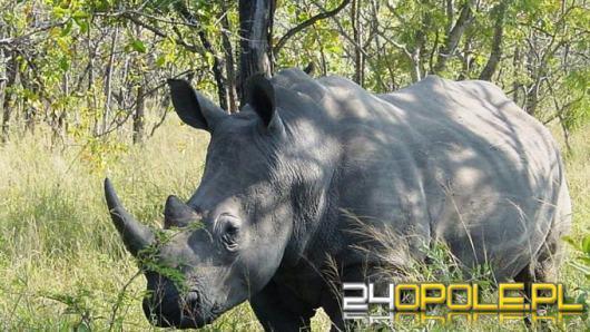 Jeździli na polowanie do Afryki i sprzedawali rogi nosorożca białego na czarnym rynku