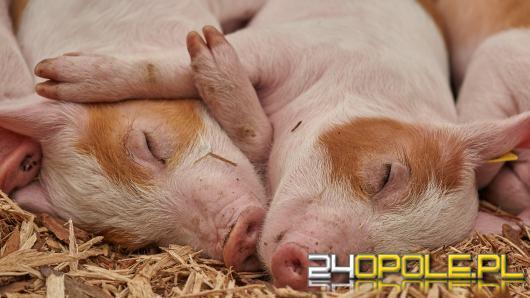 Afrykański pomór świń (ASF) blisko granic województwa opolskiego