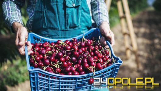 Ile można zarobić na zbiorze owoców i warzyw. Kuszą tysiącami złotych