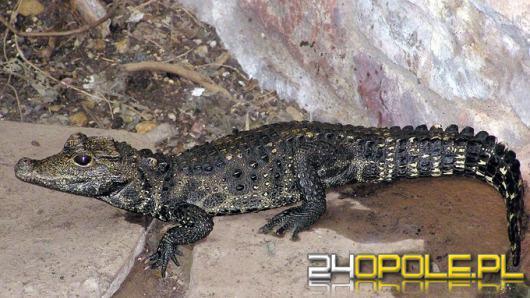 Policja w Ostrawie ostrzega przed krokodylem, który uciekł z hodowli. Może pływać w Odrze