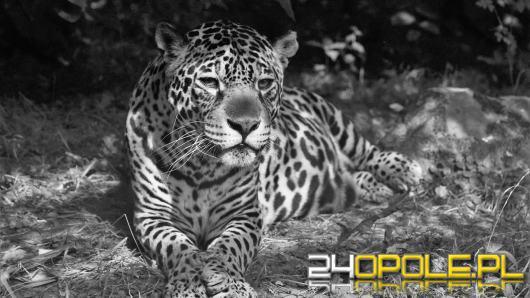 Nie żyje jaguarzyca Bora z opolskiego zoo. Miała 21 lat, była prapraprabcią